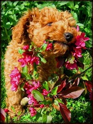 Kents Hill Labradoodle Red Puppy